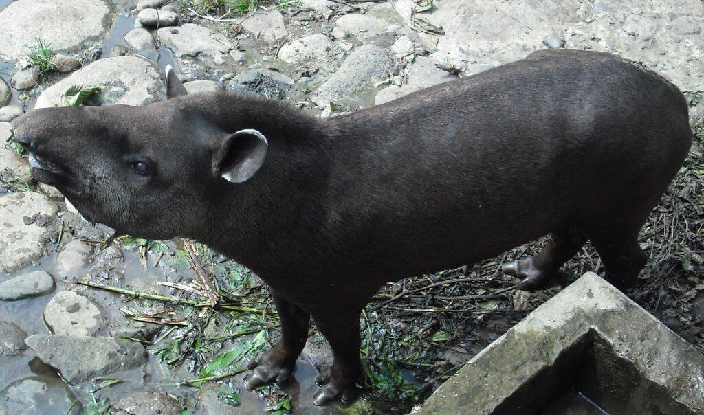 Tapir amazon